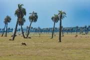 Palmen, Rinder und Schafe in der Nähe der Küste