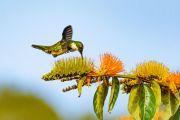 Kolibris im Nationalpark Santa Teresa
