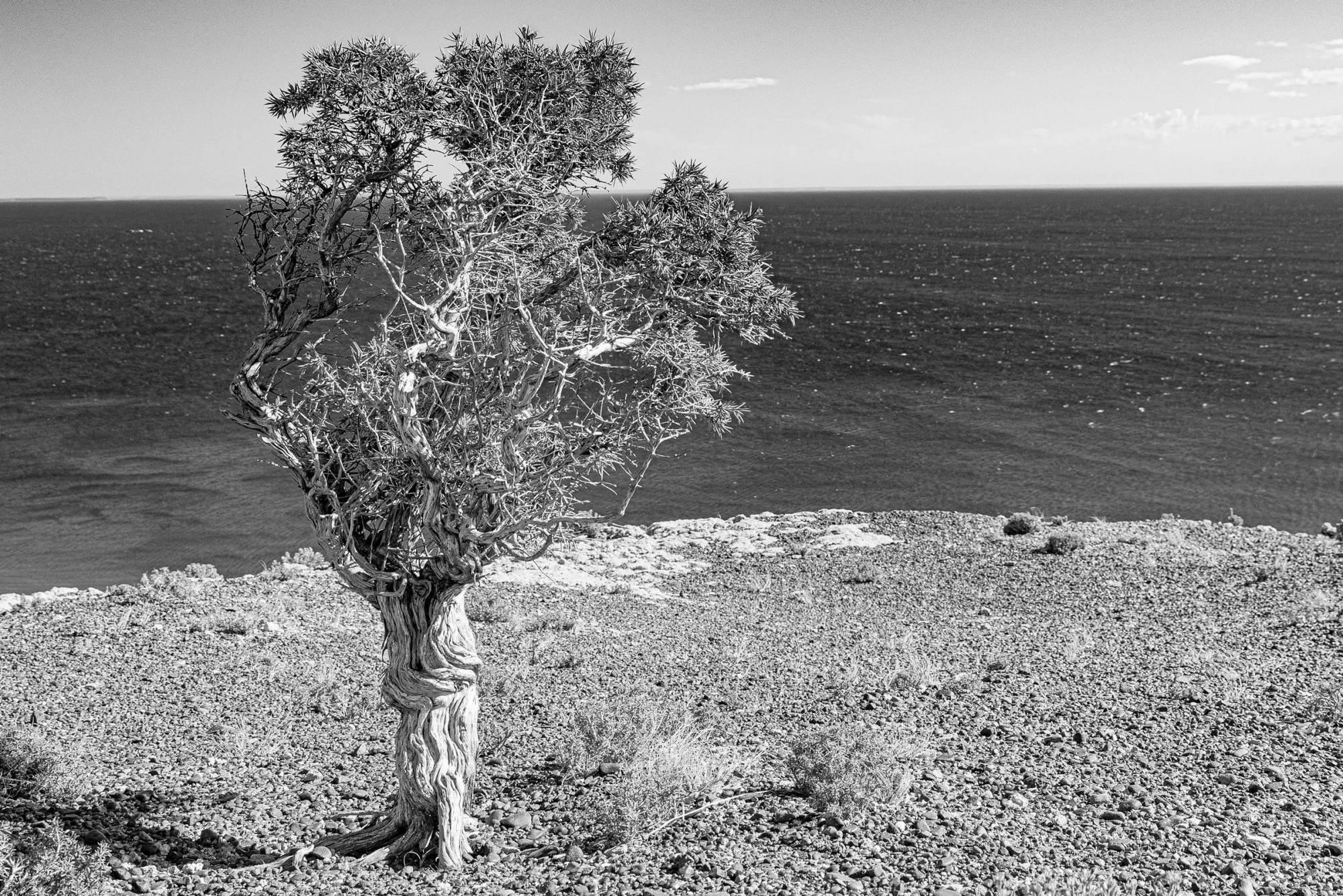 ein einsamer Baum oberhalb der steilen Küste bei Puerto Piramides