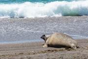 Ein einzelner Seeelefant bei Punta Norte