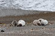 Einige Seeelefanten bei Caleta Valdes