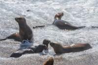 Seelöwen bei Punta Norte im Norden der Peninsula Valdes