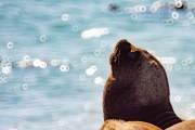 Seelöwen am Strand nahe Caleta Olivia