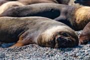 Seelöwen am Strand nahe Caleta Olivia. Die alten sind faul.