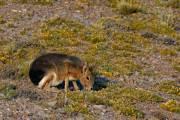 ein Mara oder auch Pampahase