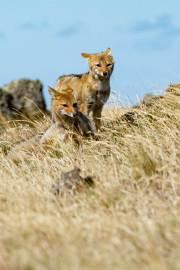 Neugierige Füchse in der Pampa