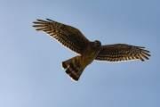Großer Greifvogel in Pali Aike
