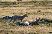 Füchse in Pali Aike