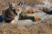 Ein kranker Fuchs am Ufer der Laguna Ana