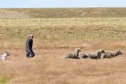 Ein Gaucho beim treiben der Schafe