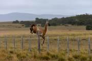 Guanaco beim Sprung über den Zaun