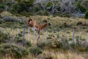 Guanaco springt über den Zaun 3