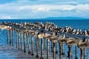 Kormorane am alten Steg in Punta Arenas